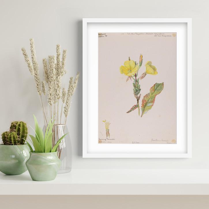 Framed print of 'Evening Primrose'