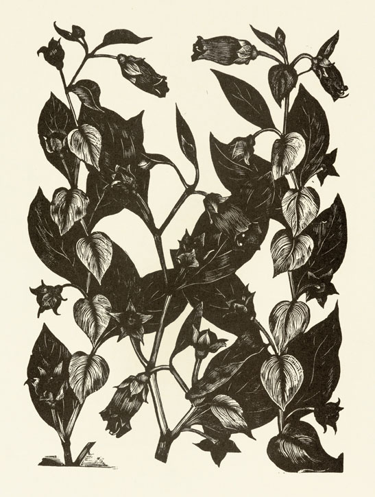 Deadly Nightshade from 'Poisonous Plants – Deadly, Dangerous and Suspect'