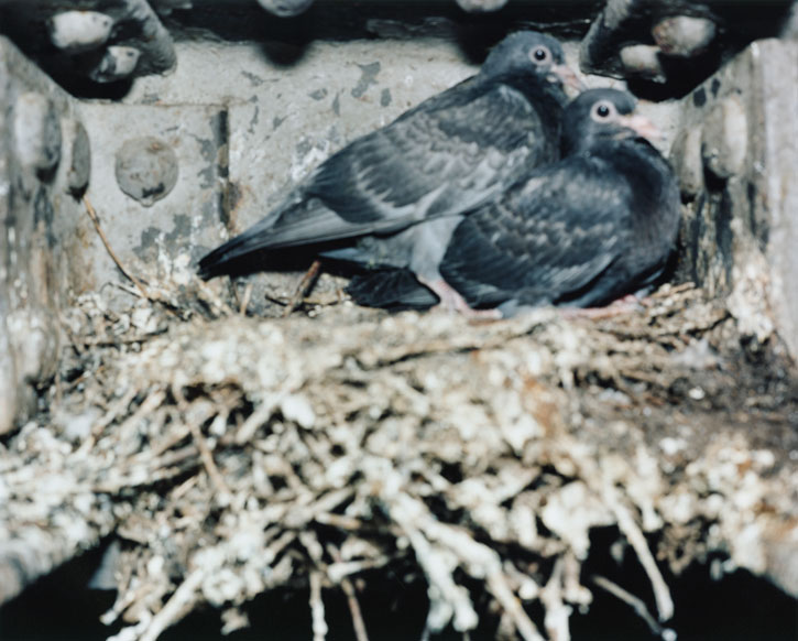 From 'Pigeons'
