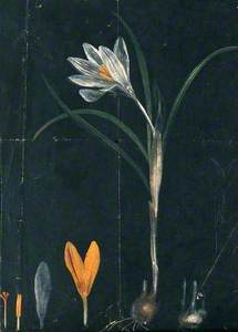 A Crocus: Entire Flowering Plant with Separate Bulb and Floral Segments