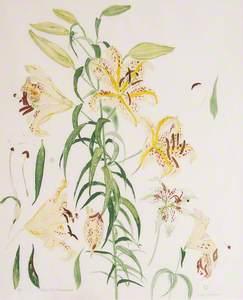 Auratum Lilies