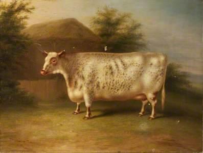 A Short-Horn Cow