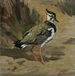 Young Lapwing