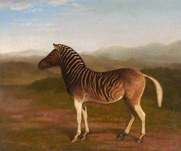A male Quagga from Africa, the First Sire.