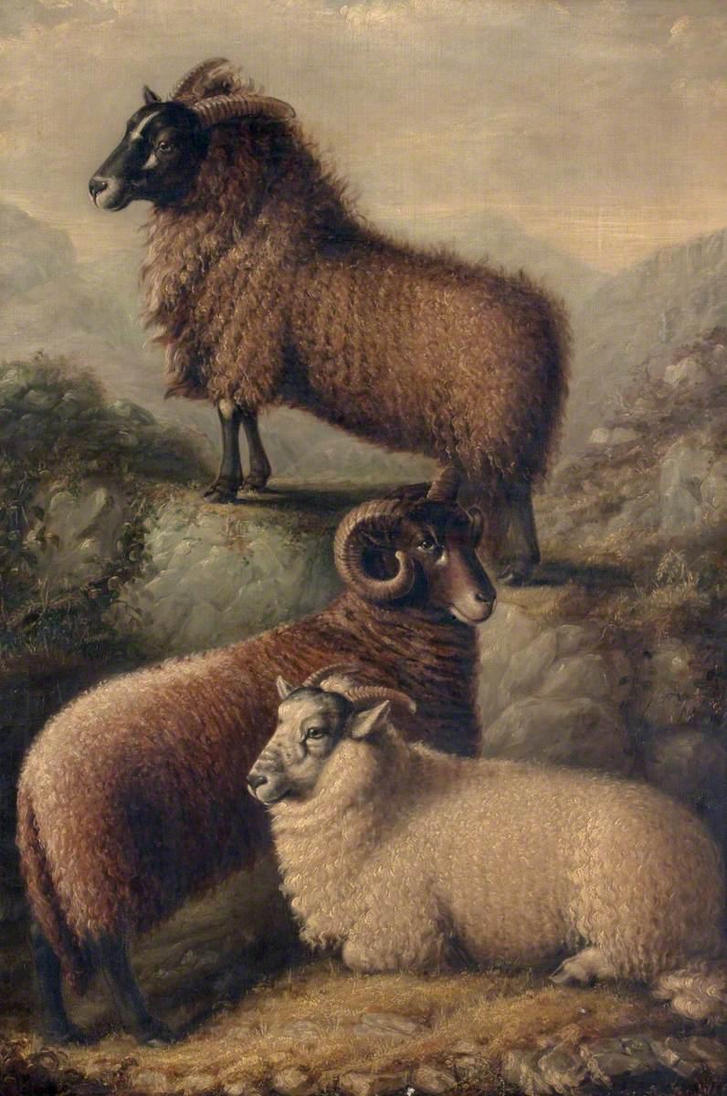 Three Welsh Sheep