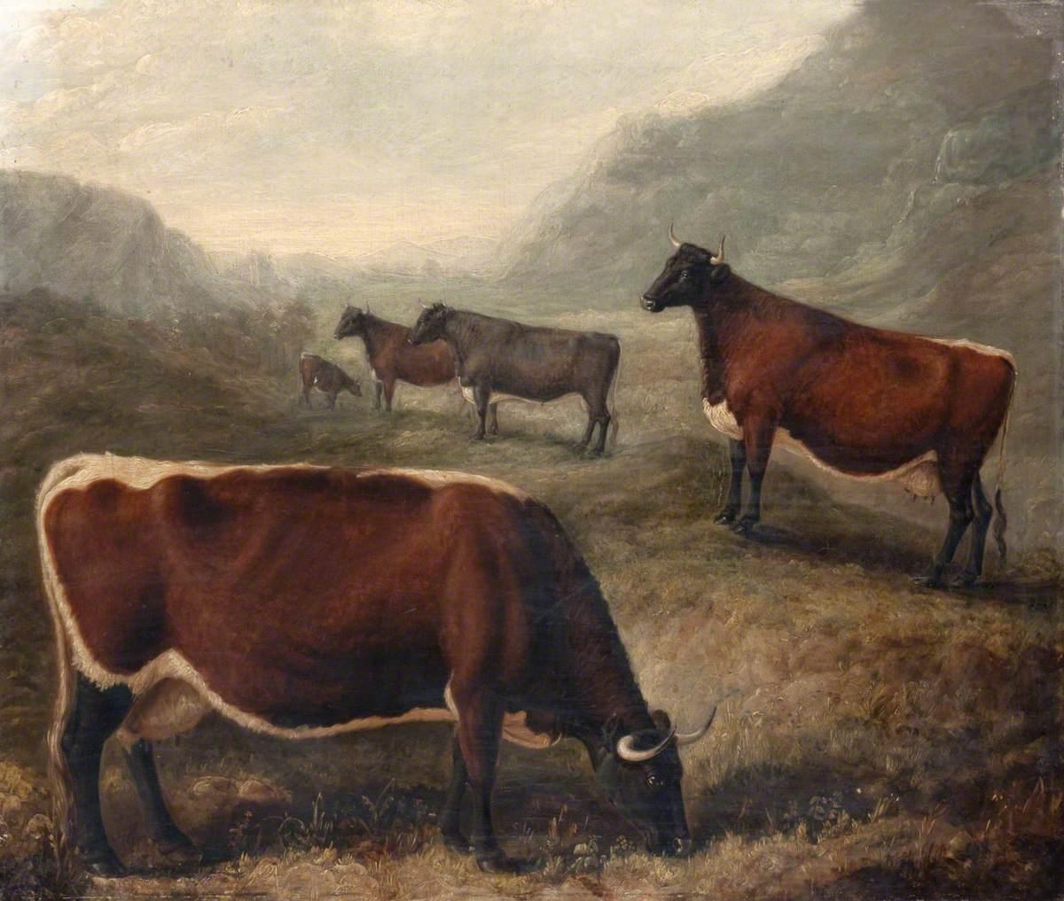 Five Glamorgan Cattle