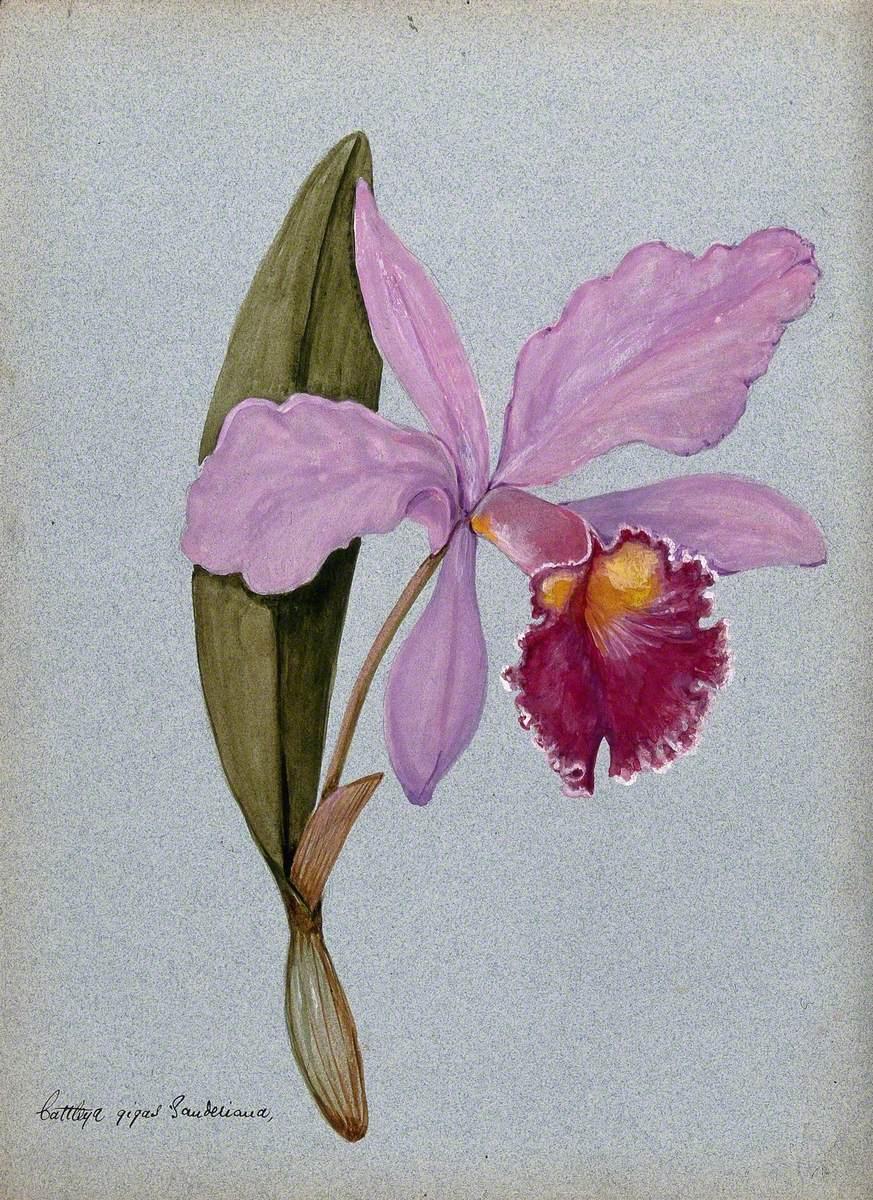 An Orchid (Cattleya Gigas Sauderiana): Flowering Stem