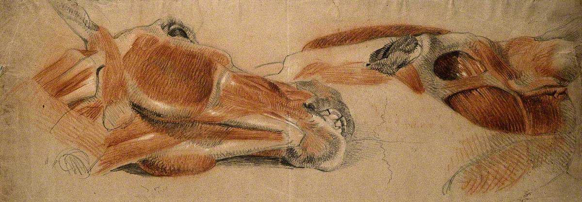 The Muscles of the Head of a Horse, Two Studies