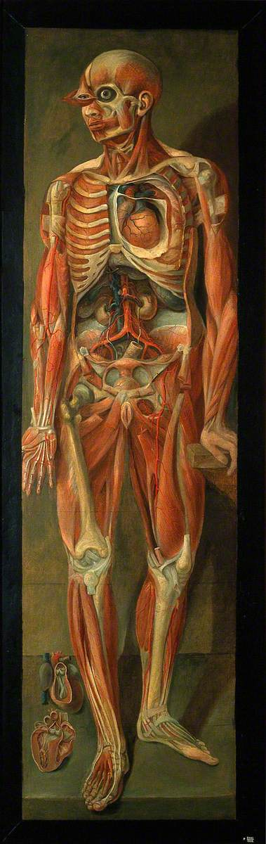 A Standing Dissected Man Looking to Left, with Two Separate Figures of the Heart