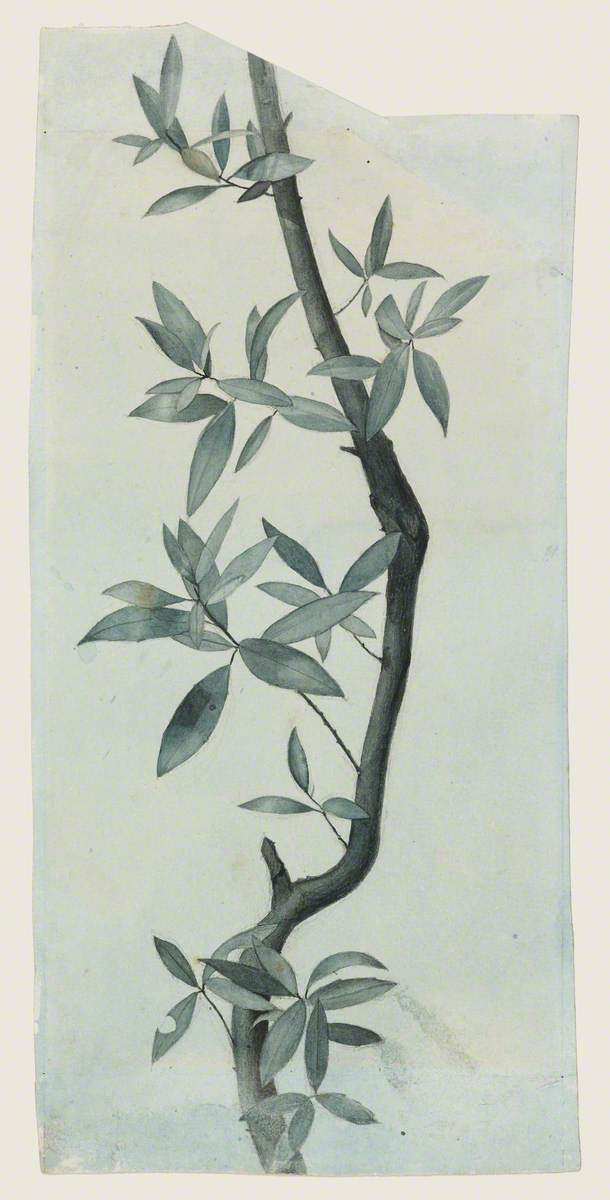 Study of Willow Leaves