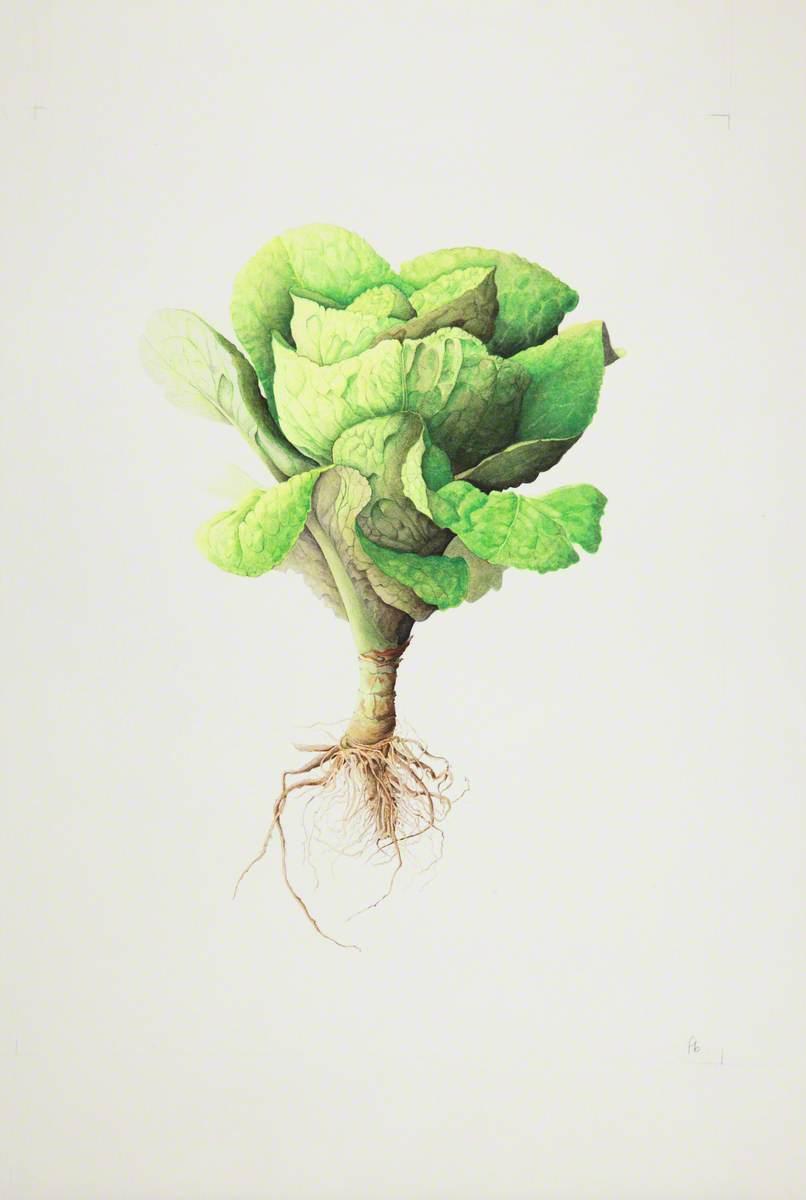 Lactuca sativa (Lettuce), 'Little Gem'