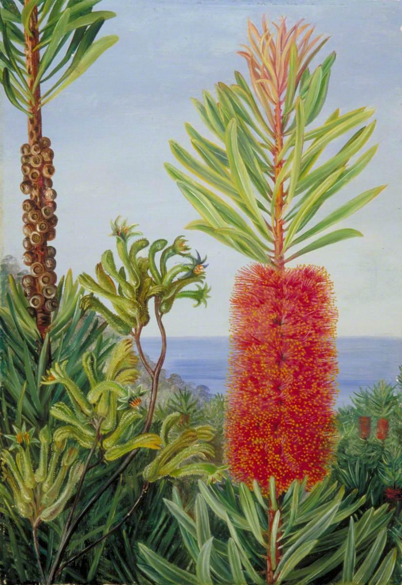 Flowers of a West Australian Shrub and Kangaroo Feet