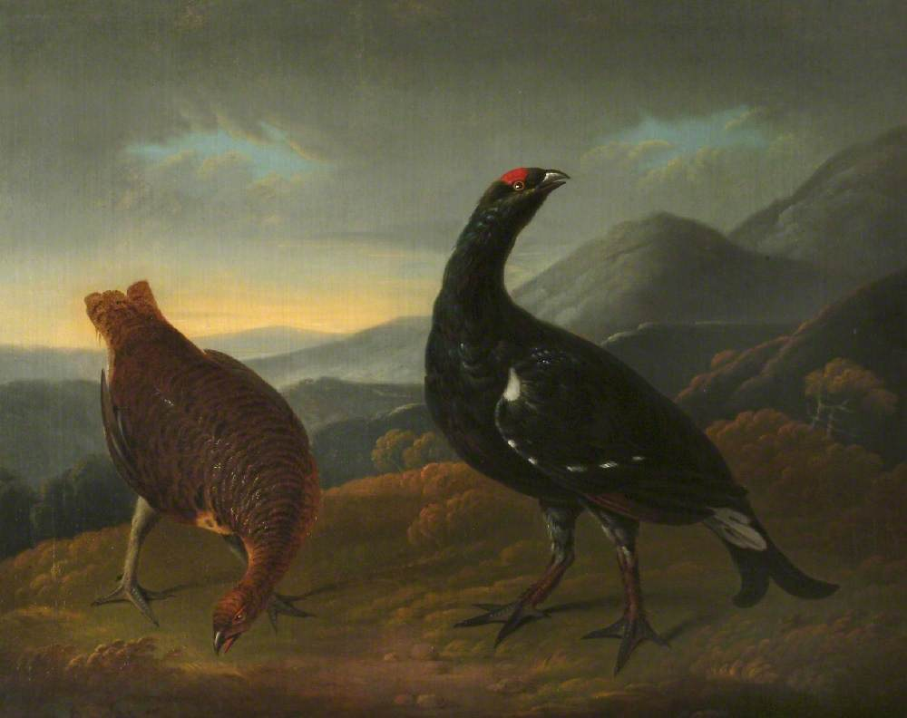 Cock and Hen Black Grouse in Landscape