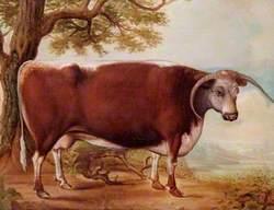 A Longhorn Cow