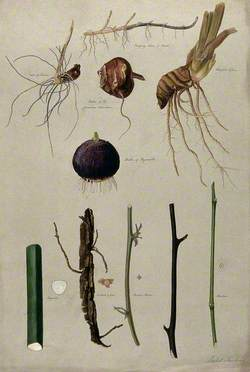 Various Stem Forms, including Bulbs and Roots