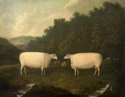 Collings Sheep