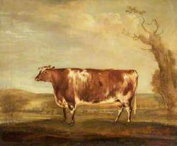 Short-Horned Heifer