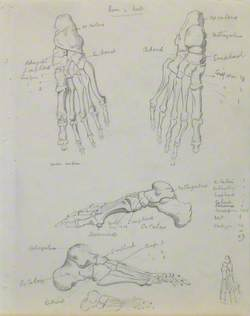 Skeletal Structures of Foot