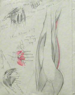 Musculature of Thigh and Buttock (in Profile Facing Right), and Hands