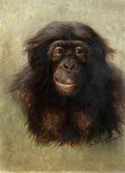 Head of Chimpanzee (simia satyrus marungensis) from Life