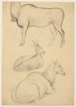 Female Ibex or Mountain Goat