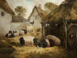 Farmyard with Saddlebacks