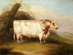 'Harlsonia' (Shorthorn Bull)