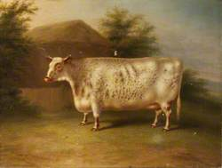 A Shorthorn Cow