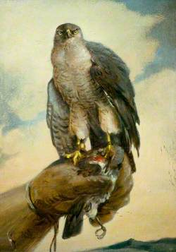 Trained Hawk on the Fist