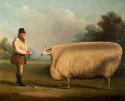 Prize Sheep
