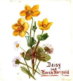 Daisy and Marsh Marigold