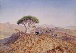 The Great Tree-Aloe of Damaraland