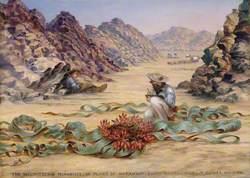 The welwitschia mirabilis