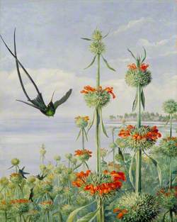 Leonotis nepetaefolia and Doctor Humming Birds, Jamaica