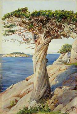 An Old Red Cedar on the Rocks near West Manchester, Massachusetts