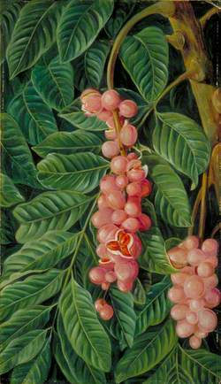 Foliage and Fruit of a Forest Tree of Java