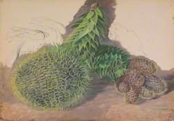 Male Cones of Araucaria araucana