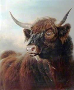 A Highland Bull