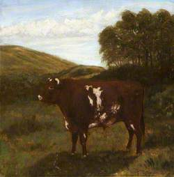 Shorthorn Bull (?)
