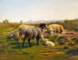 Sheep and a Lamb