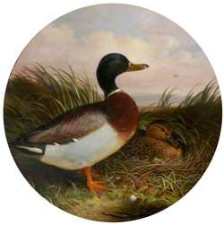 Duck and Drake in Reeds