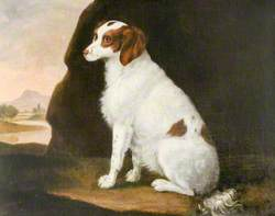 A White and Brown Spaniel