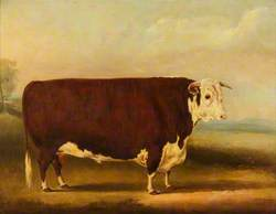 Hereford Bull: 'Walford'