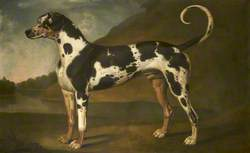A Harlequin Great Dane Called 'Turpin'