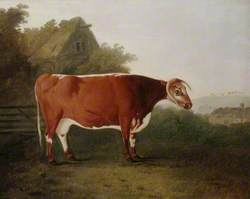 'Broken-Horned Beauty': A Cow