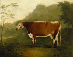 'Brindled Beauty': A Cow