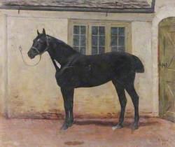 A Black Gelding in a Stableyard