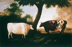 Two Shorthorn Cattle: The White Heifer Which Travelled and Red Rose