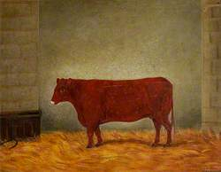 A Red Poll Cow