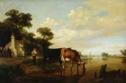 Cattle Drinking